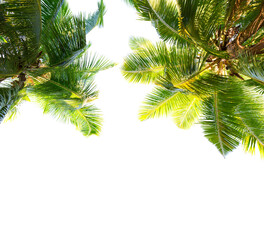 Wall Mural -  Two Coconut palm trees isolated on white background. Low Angle View.