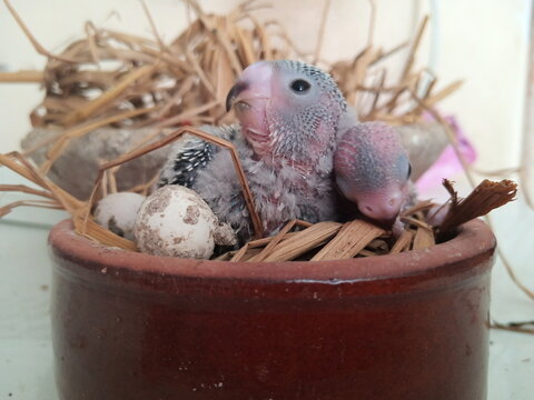 Young parrot birds in a nest