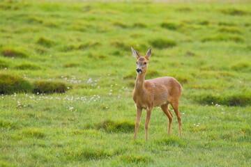 European roe deer (Capreolus capreolus), also known as the western roe deer in Seaton Wetlands Nature reserve, Devon
