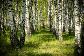 Photo sur Aluminium Bosquet de bouleaux birch grove in spring