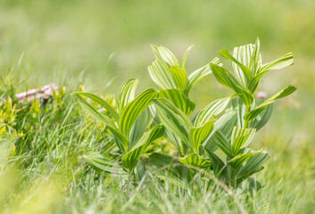 Alpenpflanze grün im Makro.