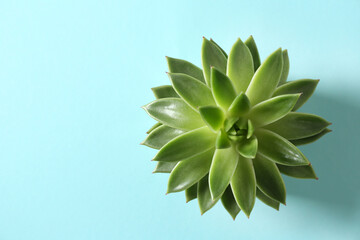 Beautiful echeveria on light blue background, top view with space for text. Succulent plant