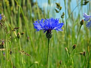 Obraz roslina o niebieskich kwiatach o nazwie chaber blawatek rosnaca przy drodze polnej w miejscowosci fasty na podlasiu w polsce - fototapety do salonu