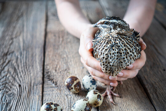 Rustic background with a quail in female hands and quail eggs beside. Copy space.