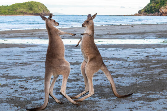 Two young male kangaroos boxing and playing with each other with big energy, at the beach in front of the ocean, sunset time. Full body picture. Cape Hillsborough, Queensland, Australia, Oceania