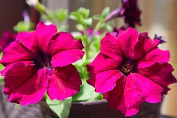 Photo Blinds Pink Petunia. Two bright juicy dark pink flowers. Beautiful summer flower landscape