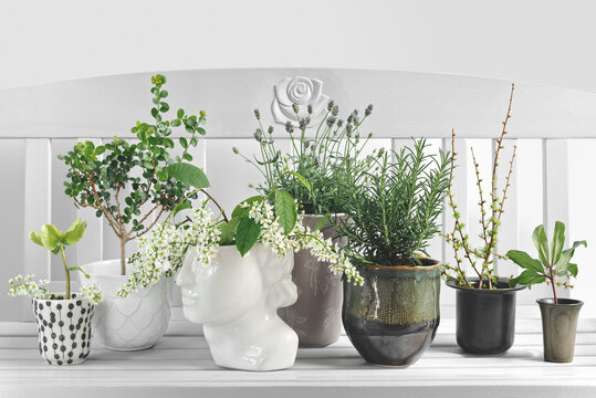 Rosemary, Lavender, blooming Hagberry and Larix branches in ceramic pots.