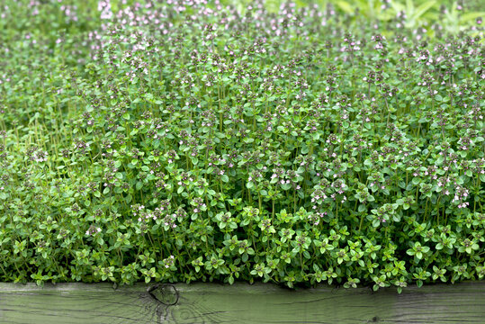 Flowerbed with thyme