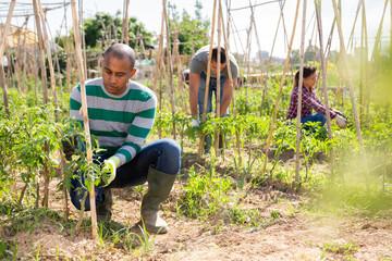 Indian gardener tying up tomato plants in garden