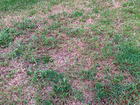 Damaged lawn with bare spots. Patchy grass, lawn in bad condition and need maintaining