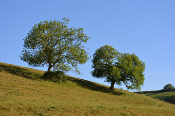 English spring landscape with two  Ash trees on the hill in early morning sunshine, Dorset, England