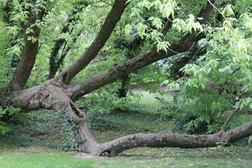 drzewo korzenie galezie stare rosliny zielony park las