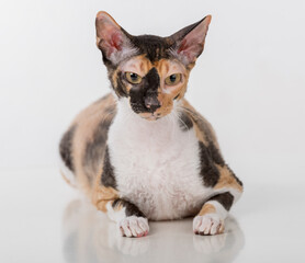 Curious Cornish Rex Cat Sitting on the White Desk. White Background