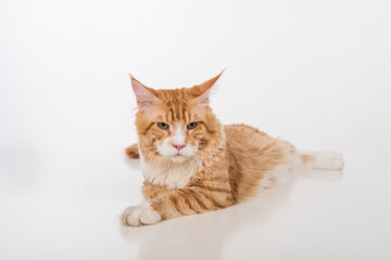 Curious Maine Coon Cat Lying on the White Table with Reflection. White Background. Lazy