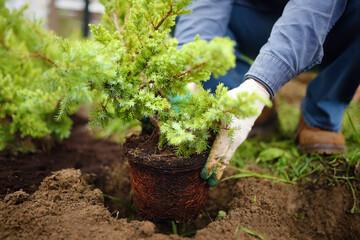 Fototapeta Man planting juniper plants in the yard. Seasonal works in the garden. Landscape design. obraz