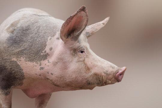 big domestic pig profile view
