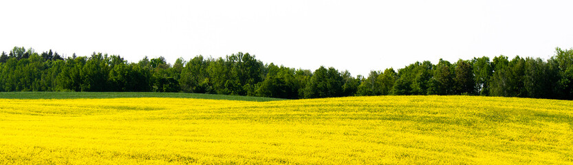 Beautiful fields of yellow rape and green wheat. Growing seed crops. Rapeseed oil. Banner for landscape site with forest on an isolated background. On a sunny day, in Belarus