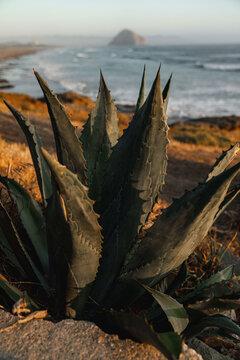 Close up of coastal cactus plant