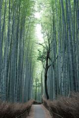 誰もいない嵐山の竹林の小径