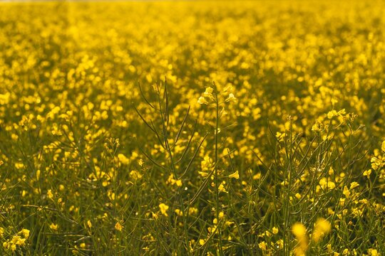 Yellow flowers growing on the large field during daytime
