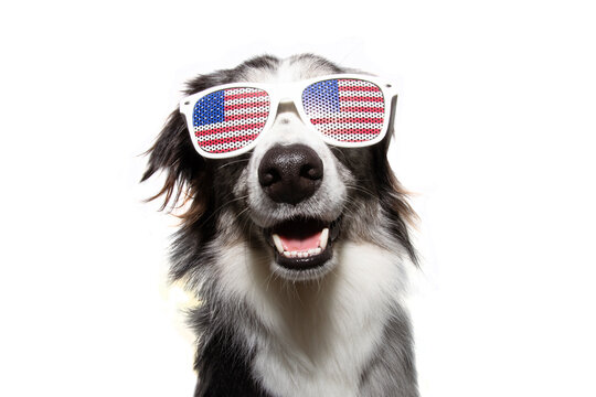 Independence day 4th of july happy border collie dog. Isolated on white background.
