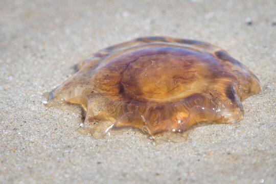 Lions mane jellyfish at the beach