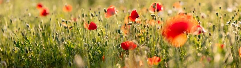 Poppy flowers in the field, Warsaw, Poland