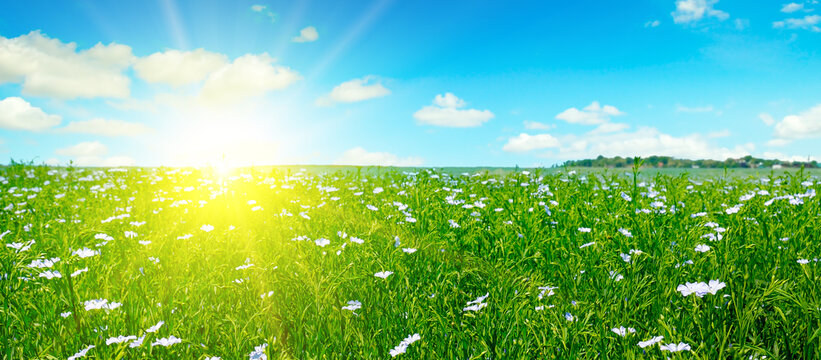 Field with flowering flax and sun rise on sky. Wide photo