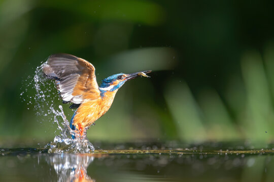 Common Kingfisher comming out of the water after diving for fish in the Netherlands