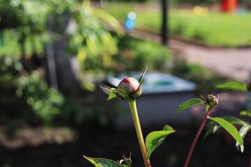 peonies flower buds in the garden