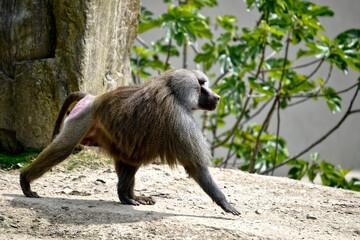 Hamadryas baboon (Papio hamadryas) walking on ground and seen from profile