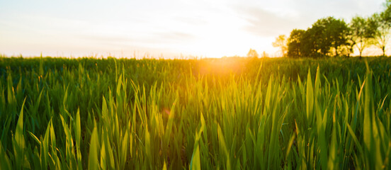 Green wheat field with morning light background