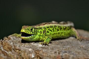 Aluminium Prints Chameleon Lizard
