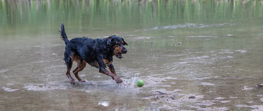 a mix of rottweilers with another dog taking a bath in the river and playing with a ball