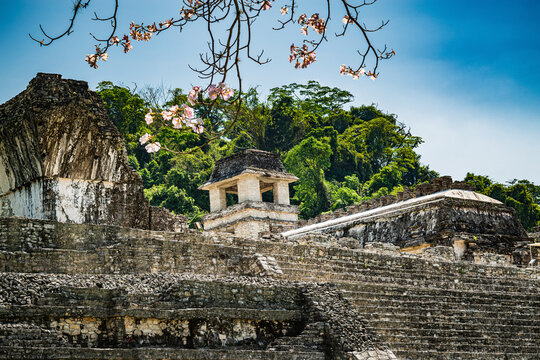 Mayan ruins in Palenque seen through blossoming cherry tree branches. Palenque archaeological site is a popular tourist attraction in Chiapas.