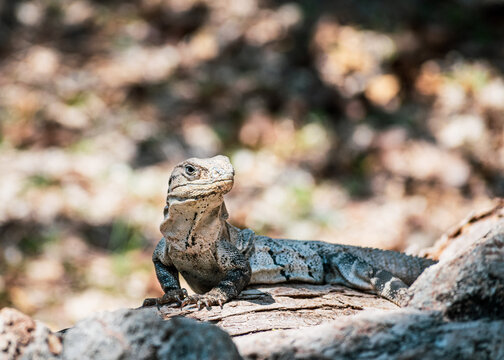Portait of a camouflaged iguana basking in the sun at Uxmal archaeological site, yucatán, Mexico.
