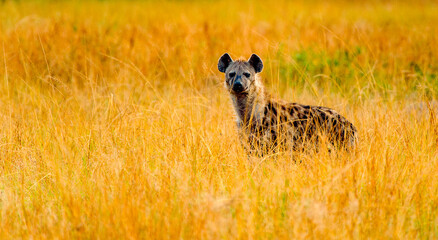 It's African spot hyena in Uganda