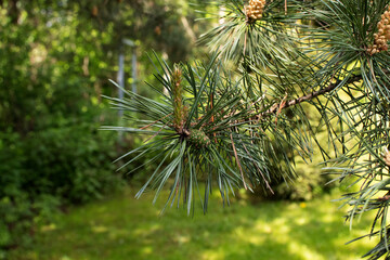 flowering common pine in the forest
