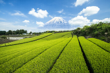 Green tea plantation with Mount Fuji in the background, Shizuoka Prefecture, Japan