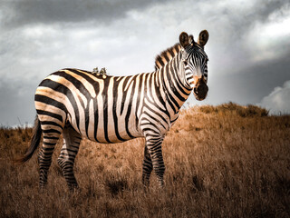 Papiers peints Zebra Walppaper Zèbre Savane Afrique