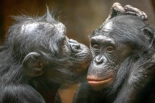 Two monkies in love hugging and kissing each other