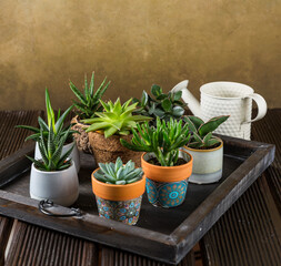 Fototapeta Green house plants potted on the wooden table obraz