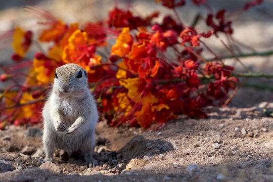 Alert round-tailed ground squirrel stands before fallen flowers