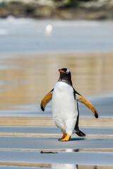 It's Profile of a gentoo penguin in Antarctica