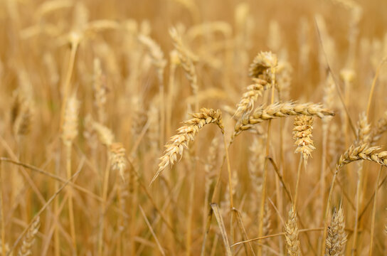 Yellow spikes of wheat in the field, summer day, selective focus, limited depth of field