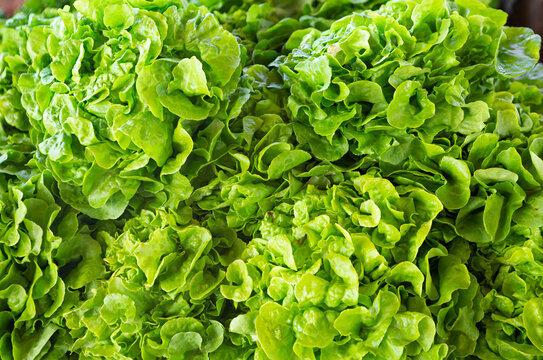 Fresh cut bibb lettuce at an outdoor market