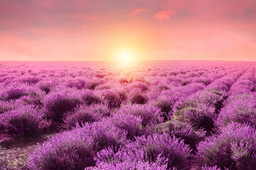 Beautiful blooming lavender in field on summer day at sunset