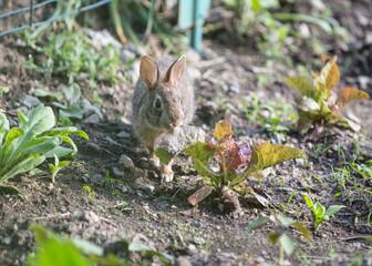 Garden rabbit eat broad-leafed weeds, clover, grasses, and lettuce leaves