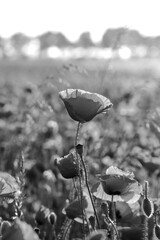 Mohnblume schwarzweiß
