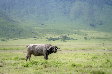 Poster Rhino lonely African buffalo